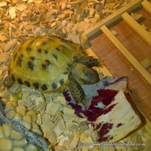 why a tortoise table | A happy healthy baby tortoise in his tortoise table