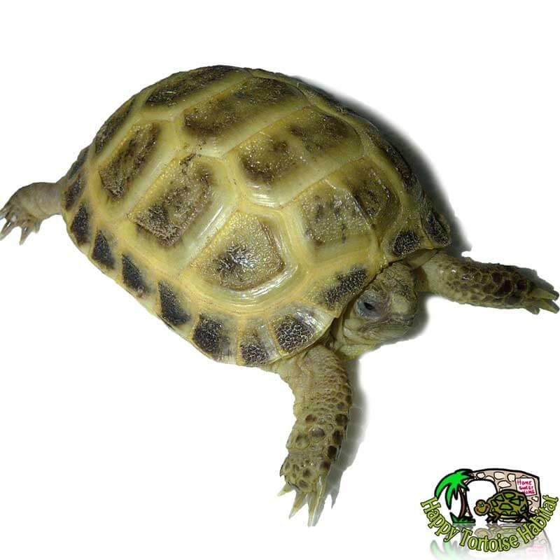 healthy young captive bred horsfield tortoise for sale UK also known as russian tortoise or Agrionemys horsfieldii