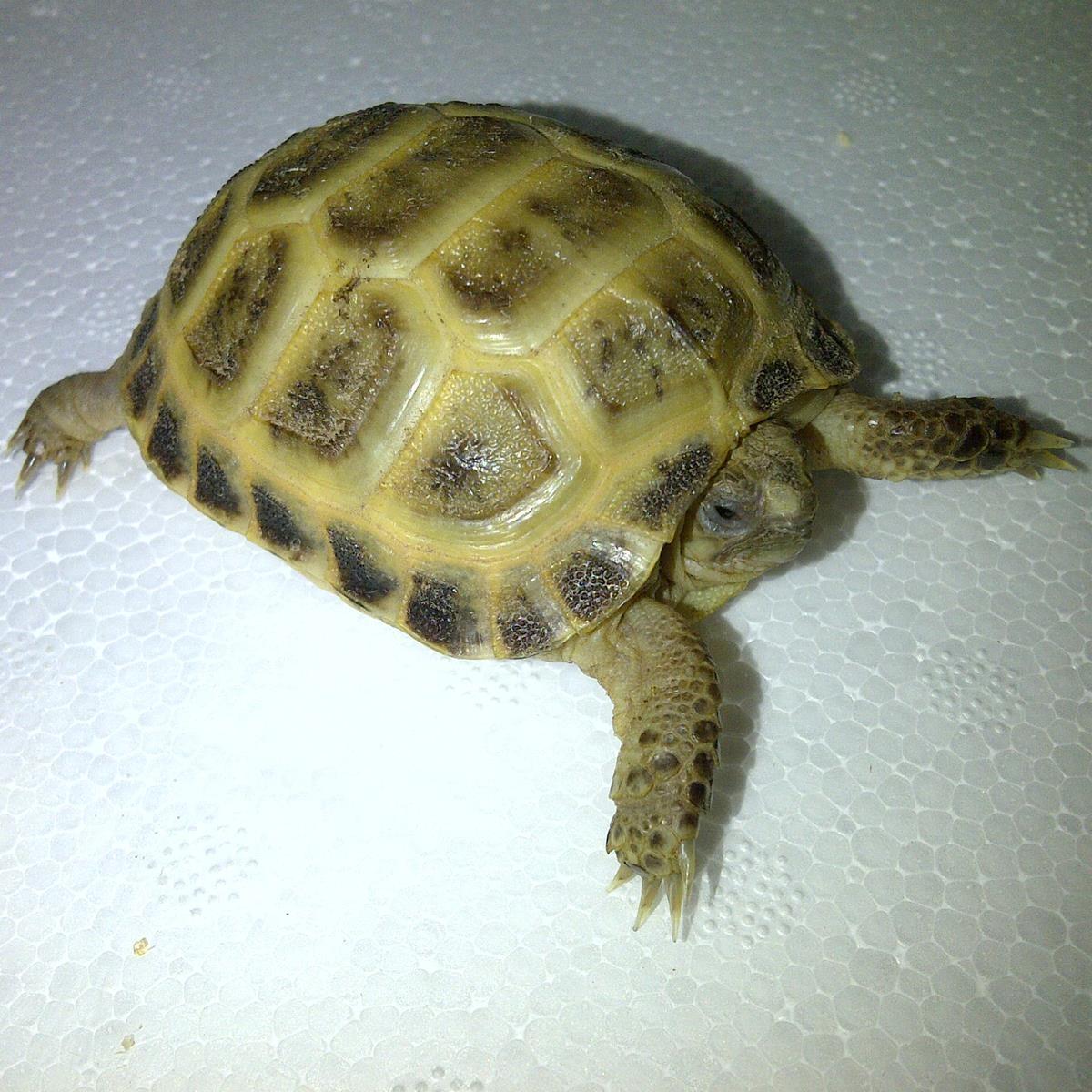 Captive Bred Tortoises Archives - Happy Tortoise Habitats