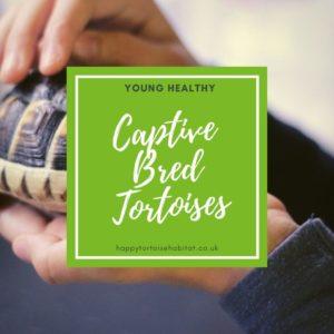 Captive Bred Tortoises